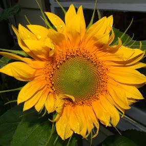 Ruffled and Wet by Jason Asselin - Nature Up Close Flowers - 2011-2013 ( nature, sunflower, yellow, sun, flower )