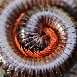 Life Wraped in Legs by Kumar MP - Animals Insects & Spiders ( creepy, worm, macro, coil, beauty, millipede )