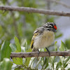 Red Fronted Tinker bird