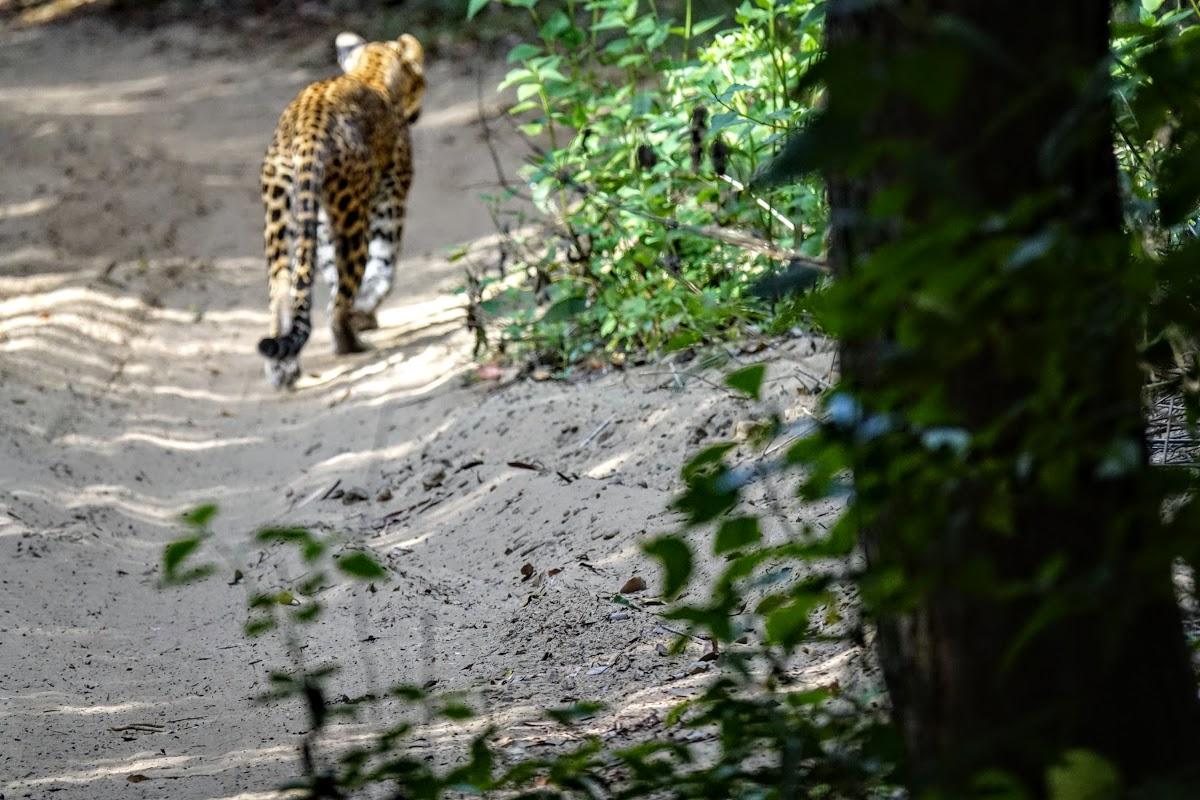 Sri. Lanka Wilpattu National Park . First glance at a leopard