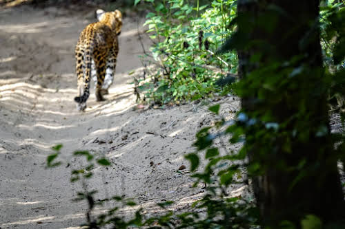 Sri. Lanka Wilpattu National Park . First glance at a leopard