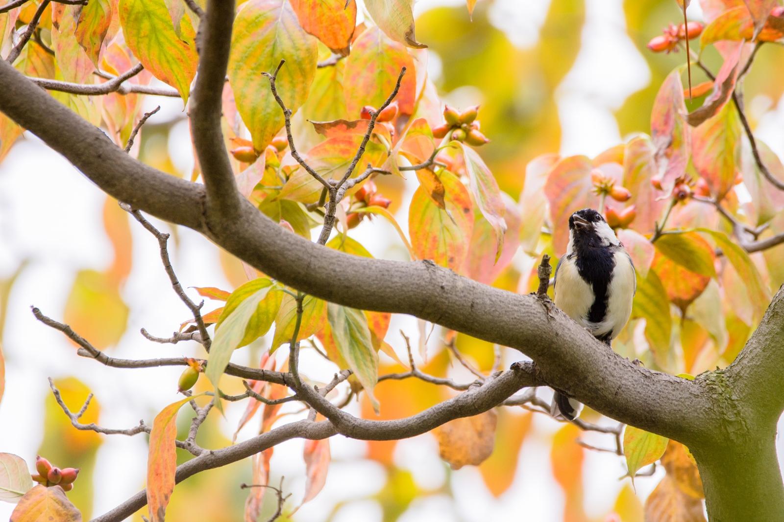 Photo: 実りに喜び歌う Sing a joy of fruitful.  とても嬉しい季節 歌いたくなる 木々が実を付け 気持ちが高鳴る  Japanese Tit. (シジュウカラ)  #birdphotography #birds #cooljapan #kawaii #nikon #sigma  Nikon D7200 SIGMA 150-600mm F5-6.3 DG OS HSM Contemporary