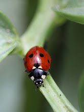 Photo: Ladybird on the broad beans, coming to the rescue! Aphids, beware!