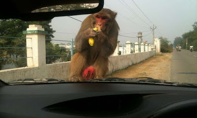 Monkey in India Attacking the car | Krys Kolumbus Travel