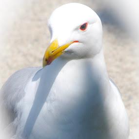 by David  Clayton - Animals Birds ( seagull, macro, close up, white, bird, nature up close,  )
