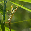 European praying mantis
