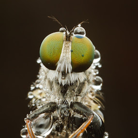 Robberfly Just Waiting by James Ac - Animals Insects & Spiders