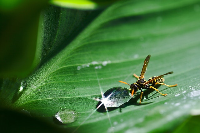 Wasp taking a drink | fresh water helps animals stay Cool in the Summer.