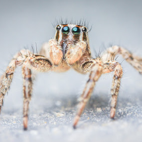 Jumping Spider by Gaurav Madhopuri - Novices Only Macro ( canon, macro, nature, macro photography, insect, tamron, eyes )