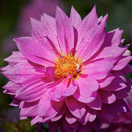 Dahlia 8557~ by Raphael RaCcoon - Flowers Single Flower
