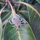 Shield Bug (nymph)
