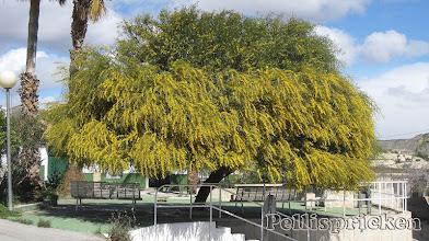 Photo: Ett enormt Träd ( Mimosa) fullt med sina gula små blommor, men i toppen är det ännu bara knopp. När allt slagit ut må detta vara en skönhetsupplevelse att se
