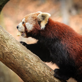 little red panda by Mathias Ahrens - Animals Other ( panda. red )