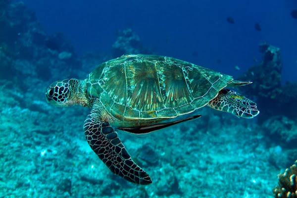 Spot sea turtles at Surin Islands