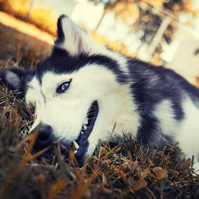 Meesha the Husky Dog by Jeffrey Zoss - Animals - Dogs Portraits ( colors, husky, siberian, cute, dog, pwc84 )