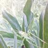 Green Bush Cricket /Кузнечик зеленый