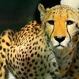 Cheetah by Gérard CHATENET - Animals Lions, Tigers & Big Cats