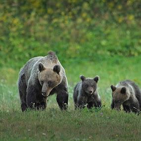 They come by Zeljko Padavic - Animals Other Mammals ( adventure, bears, family, wildlife, zeljko padavic )