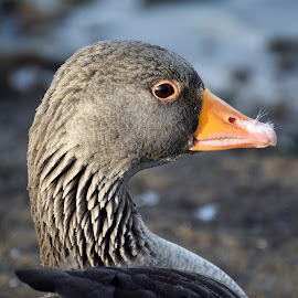 by Betty Taylor - Uncategorized All Uncategorized ( duck, headshot, birds, eyes, wildlife,  )