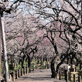 【日本の絶景】3000本の梅が咲き誇る日本三大名園 / 茨城県水戸市の偕楽園で味わう春の香り