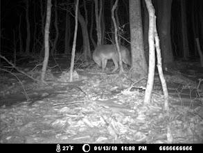 Photo: coyote - Elizabeth Islands