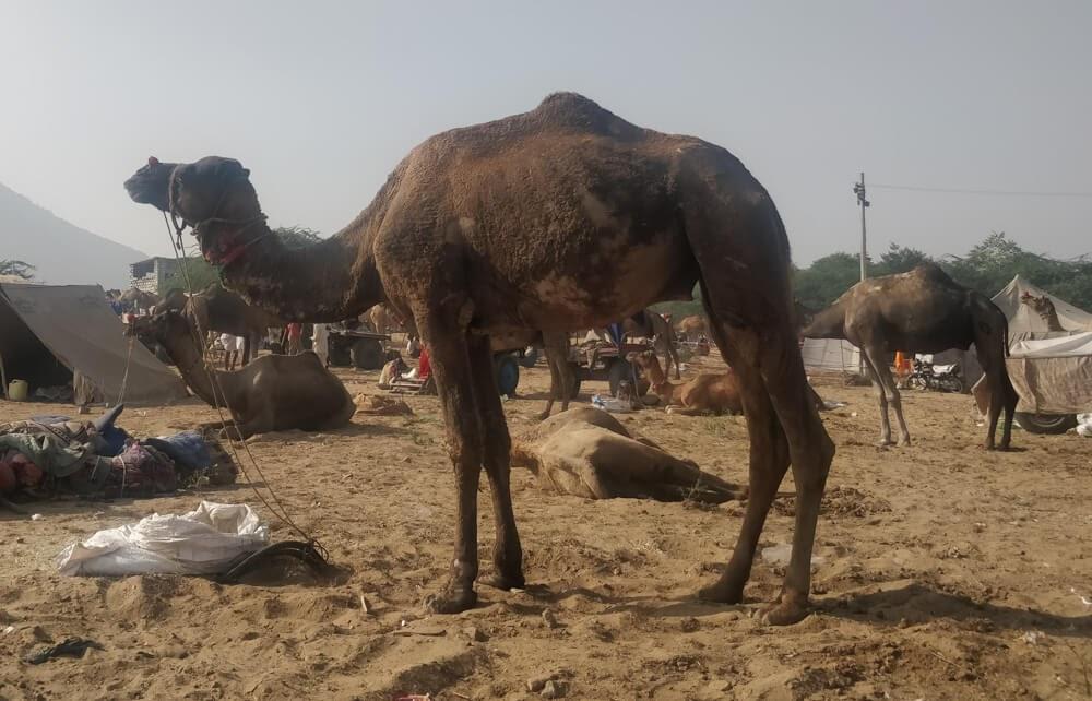 sick+camel+pushkar+camel+fair+rajasthan+desert