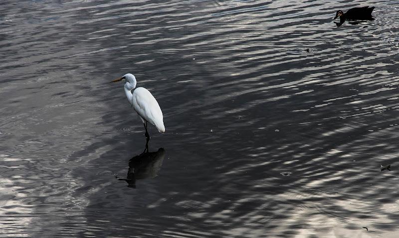 A heron on a silver lake di norma.luna