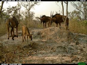 Photo: One of eight giant sable calves produced this year in Cangandala Uma de oito crias de palanca negra gigante produzidas este ano na Cangandala