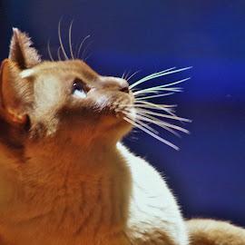 China  by Carolyn Lawson - Animals - Cats Portraits