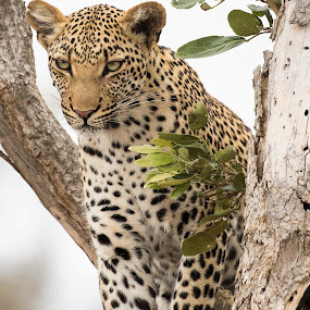 Beautiful leopard lady Kruger National Park  by Sheila Grobbelaar - Animals Lions, Tigers & Big Cats ( leopard,  )
