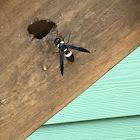 Four-Tooth Mason Wasp