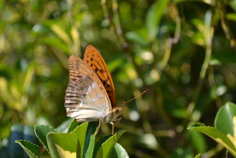 Farfalla di lisina17