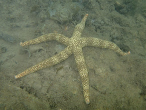 Photo: Nardoa tuberculata (Mottled Sea Star), Chindonan Island, Palawan. Philippines.
