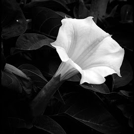 Lily by Dave Lipchen - Black & White Flowers & Plants ( lily )