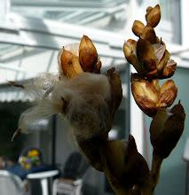 Photo: Catopsis berteroniana Blüte / flower