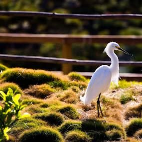 White bird standing by Jorge Villalba - Animals Birds ( bird, japan, park, white, eating, standing )