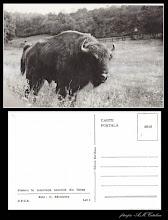 Photo: Zimbru in rezervatia naturala din Hateg -  dupa 1945 - din  colectia lui Remus Jercau