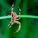 European Garden Spider; Araña de jardín