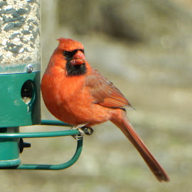 Male Cardinal at Feeder by Kristine Nicholas - Novices Only Wildlife ( green, nature, feeder, nature up close, cardinal, birds, birding, eating, red, bird photography, bird, wild, wildlife,  )
