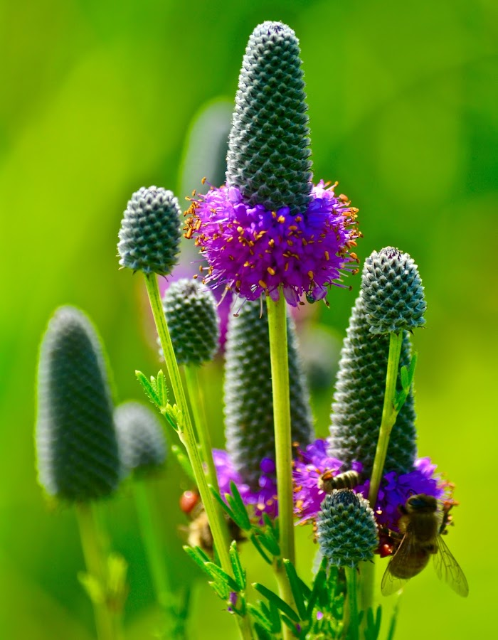 Prairie Flower by Lynn Kirchhoff - Flowers Flowers in the Wild ( wild flower, bee, prairie flower, prairie, flower,  )