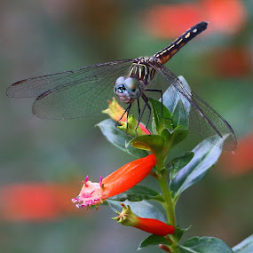 Dragonfly on Flower by Mike Vaughn - Animals Insects & Spiders ( orange flower, metairie, louisiana, insects, dragonfly,  )