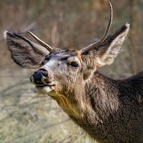 Buck at Zion by David Hammond - Animals Other Mammals ( mammals, wild, animals, nature, buck, male, outdoors, wildlife, zion, deer,  )
