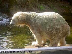 Photo: Eisbaerchen Knut besichtigt den Pool ;-)