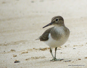 Photo: Common Sandpiper, Usukan Bay