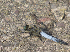 Photo: 17 Jul 13 Woodhouse Lane: A Black-tailed Skimmer; often resting on bare ground before flying a short distance to catch prey seen with those amazing eyes. (Ed Wilson)
