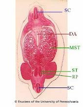 Photo: Nervous System (blue labels): SC - Spinal Cord  Circulatory System (red labels): DA - Descending Aorta  Urogenital System (green labels): MST - Mesonephric Tubules RP - Renal Pelvis ST - Future Secretory Tubules