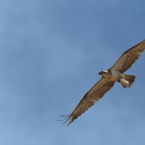 Eastern Osprey with catch by Hennie Cilliers - Animals Birds