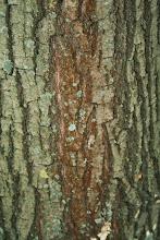 Photo: кора дуба красного