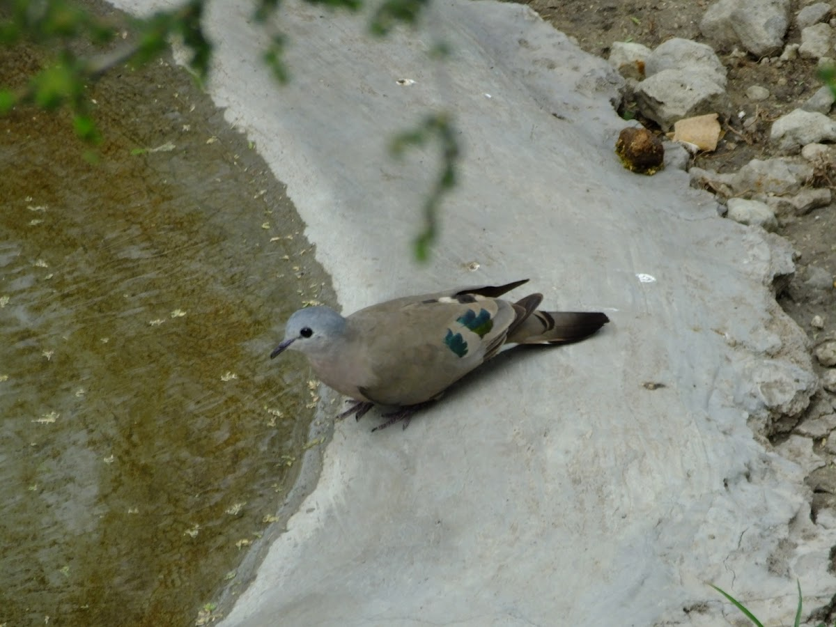 emerald spotted wood dove