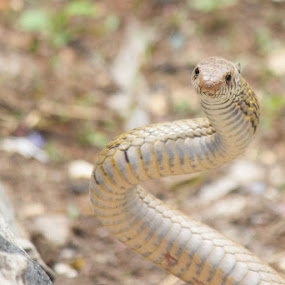 Chekad Kill Back Snake by Dr. Mahendra singh Rathore - Animals Reptiles